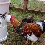 Best Chicken Feeder