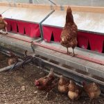 Best Nesting Boxes for Chickens