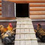 Should Chicken Coop Door Close at Night
