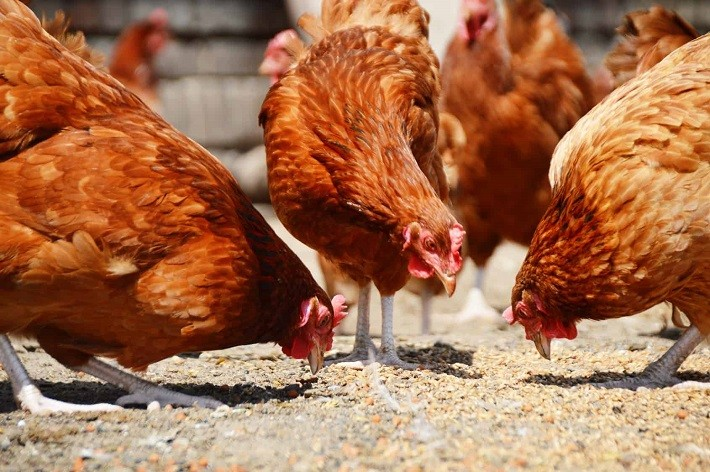 How Much Feed Per Chicken