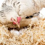 When Do Hens Start Laying Eggs