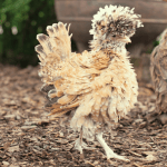 All about the bantam chicken