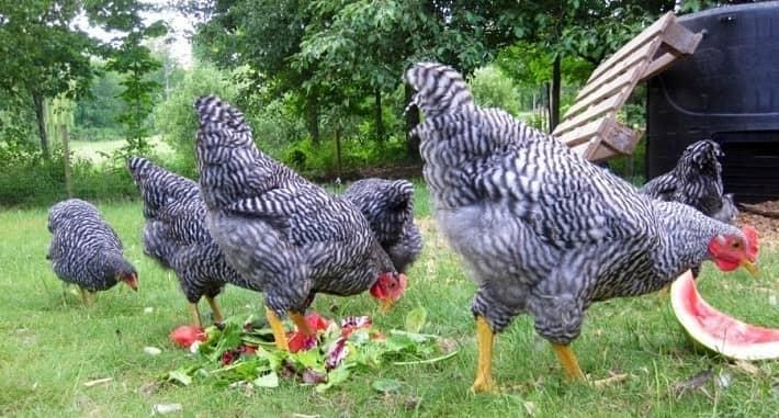 keep chicken cool