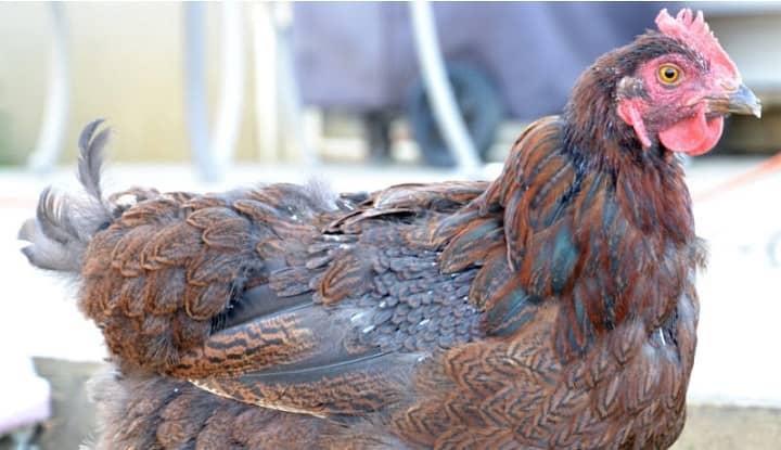 molting chicken