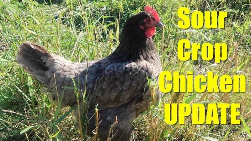 Chicken sour crop