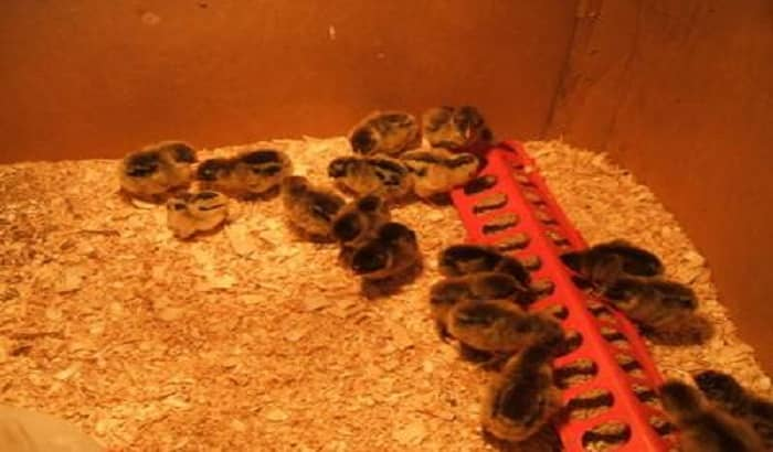 Baby Chicks Home