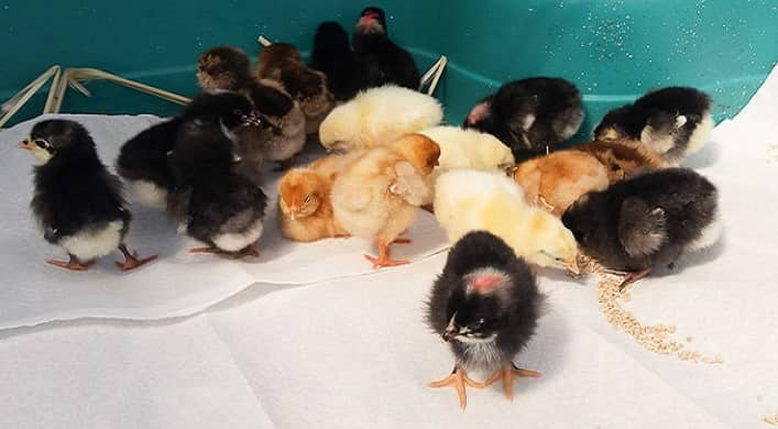 Baby Chicks at Home