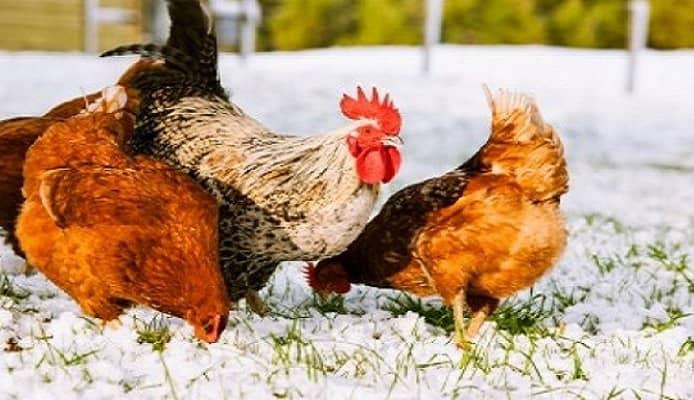 Chicken Coop Ready